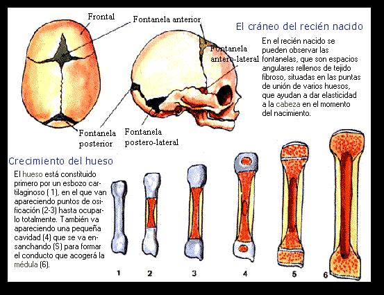 El crecimiento del hueso | El Cuerpo Humano