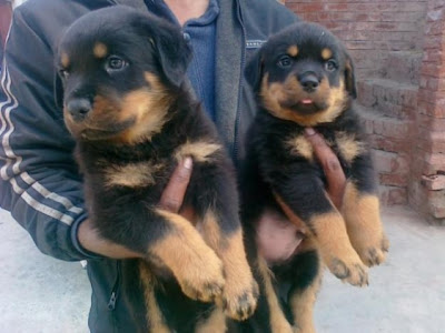 german rottweiler puppies