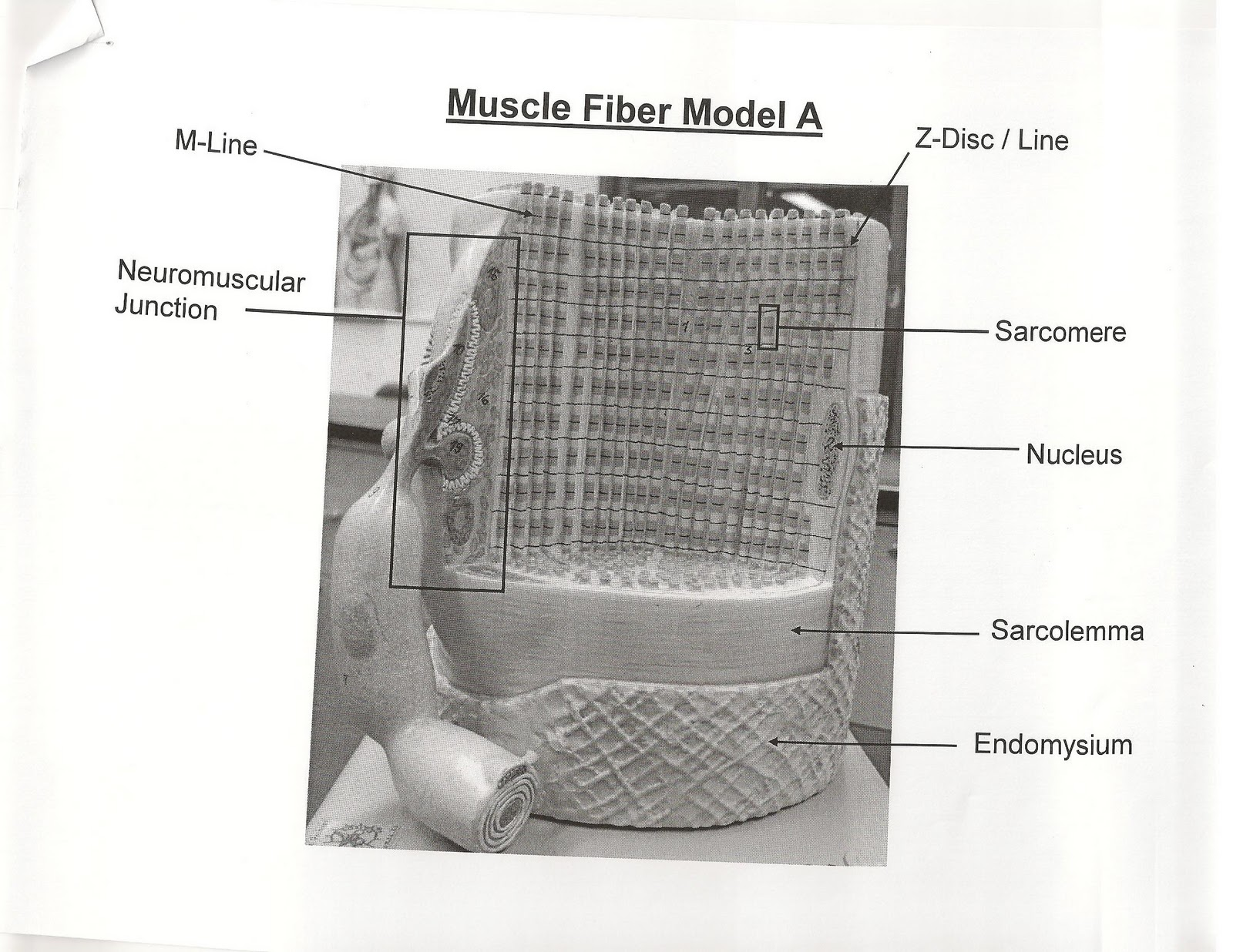 ANATOMY & PHYSIOLOGY I BIS 240: Muscle Fiber Model A