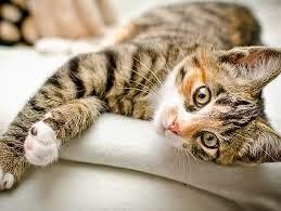 Cũng như người, loài mèo cũng bị bệnh tiểu đường.