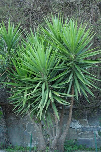 Le dracena plante flore de l le de la r union for Entretien jardin ile de la reunion