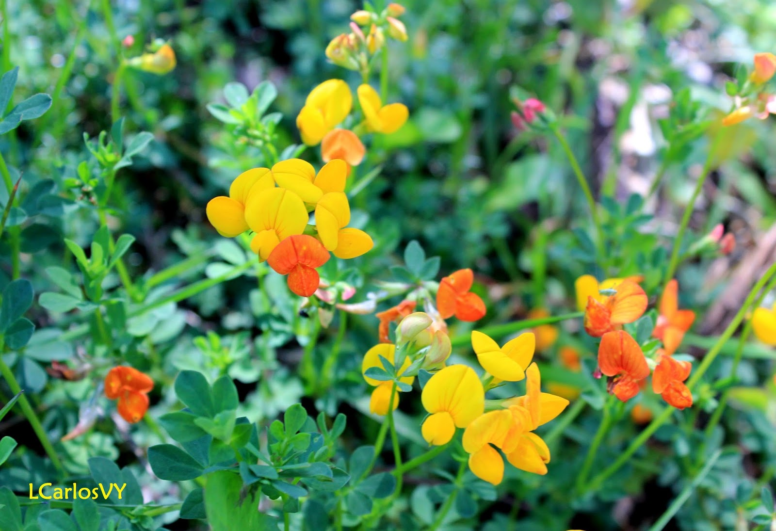 Plantas Silvestres De Asturias Cuernecillo Zapatinos Lotus