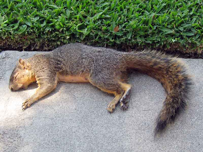 dead desiccated squirrel © David Ocker