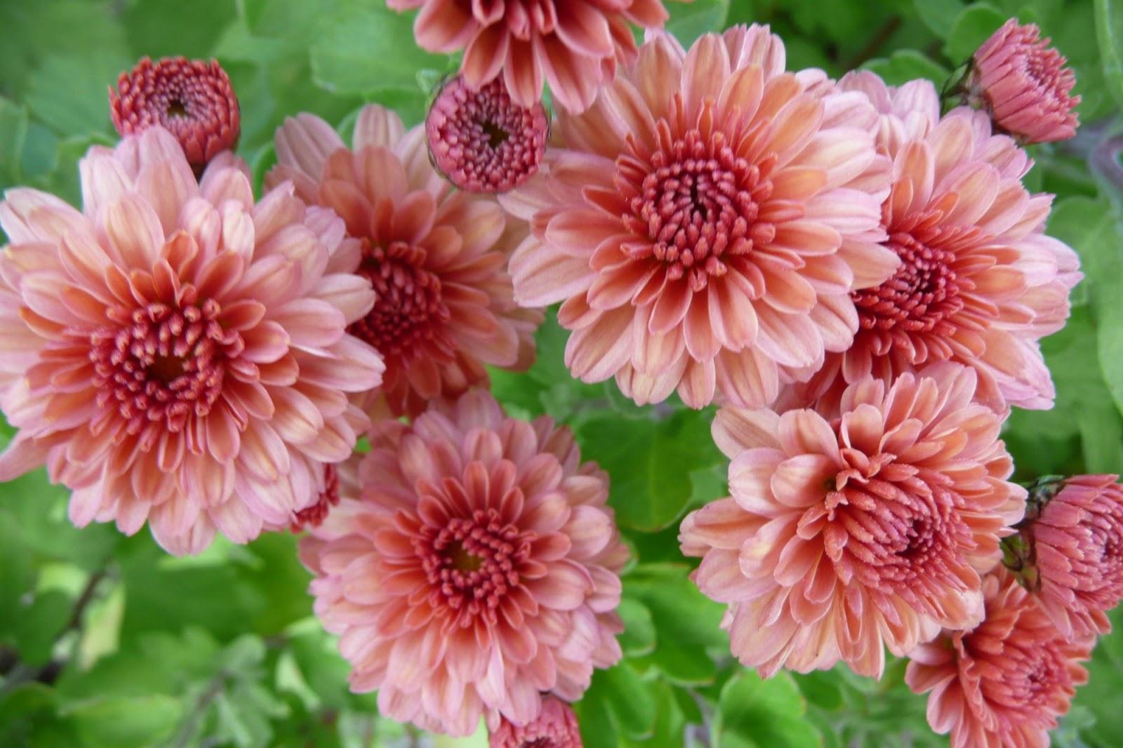 Garden at heart chrysanthemum delight