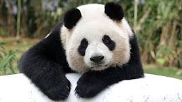 OSSOS PANDA