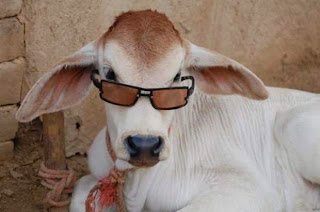 Funny Cow Wearing Sun Glasses - Bakra Eid 2013