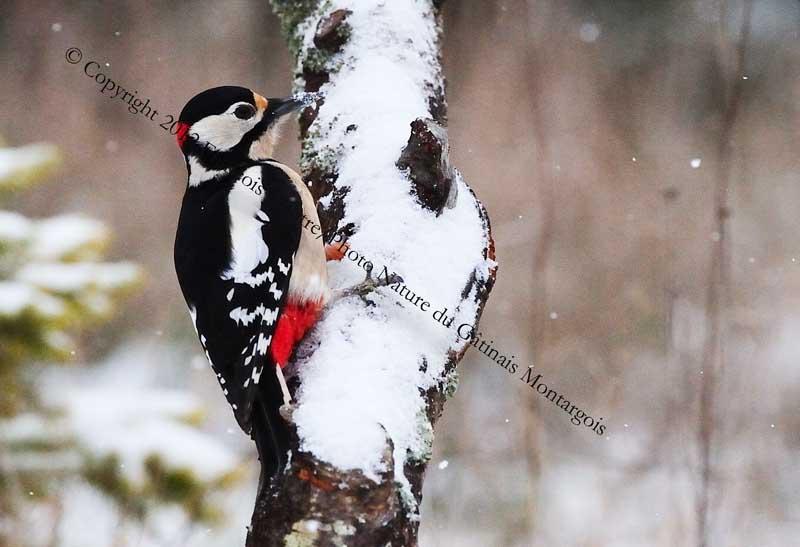 Pic épeiche ♂  sous la neige
