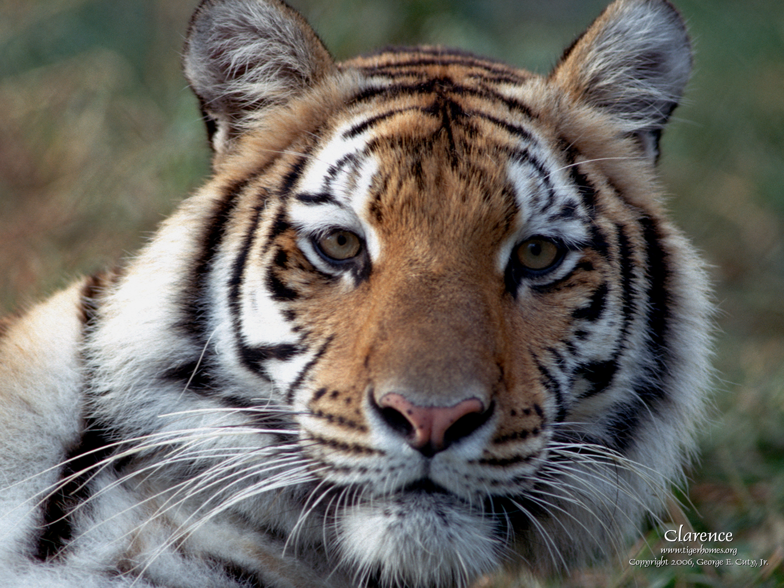 Tiger Wallpaper Desktop