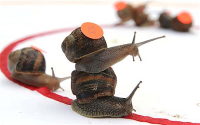 World Snail Racing Championships - Kejohanan Perlumbaan Siput Dunia