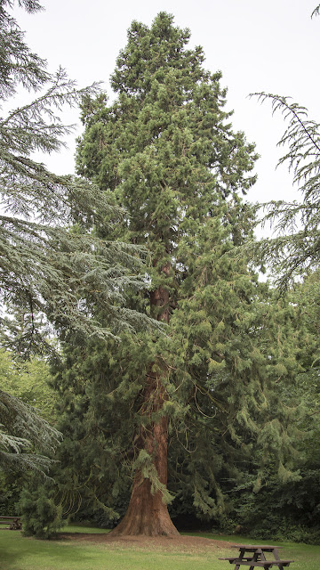 Giant Redwood, Sequoiadendron giganteum. High Elms Country Park, 5 August 2013.