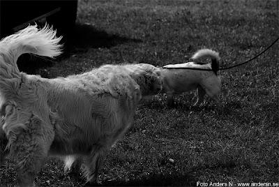 hundnuh, dogod, hund, hundar, bakochfram, svans i båda ändar, dogog, dog, dog with tails in both ends, foto anders n
