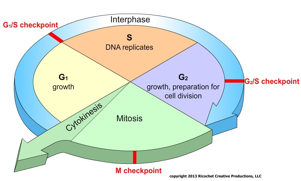Science Matters Mitosis And Meosis