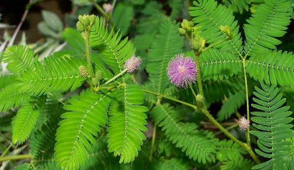 manfaat herbal daun putri malu