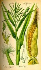 el maíz americano