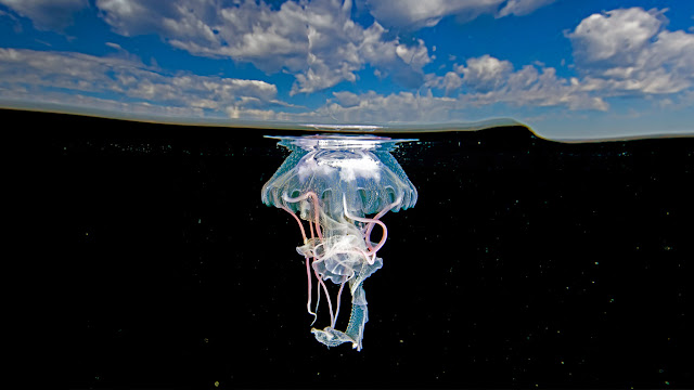 Mauve stinger jellyfish, Ixtapa Zihuatanejo, Mexico (© Christian Vizl/Tandem Stills + Motion) 675