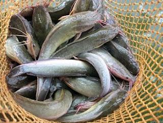 Cara budidaya ikan,ternak lele di lahan sempit,cara budidaya ikan lele,