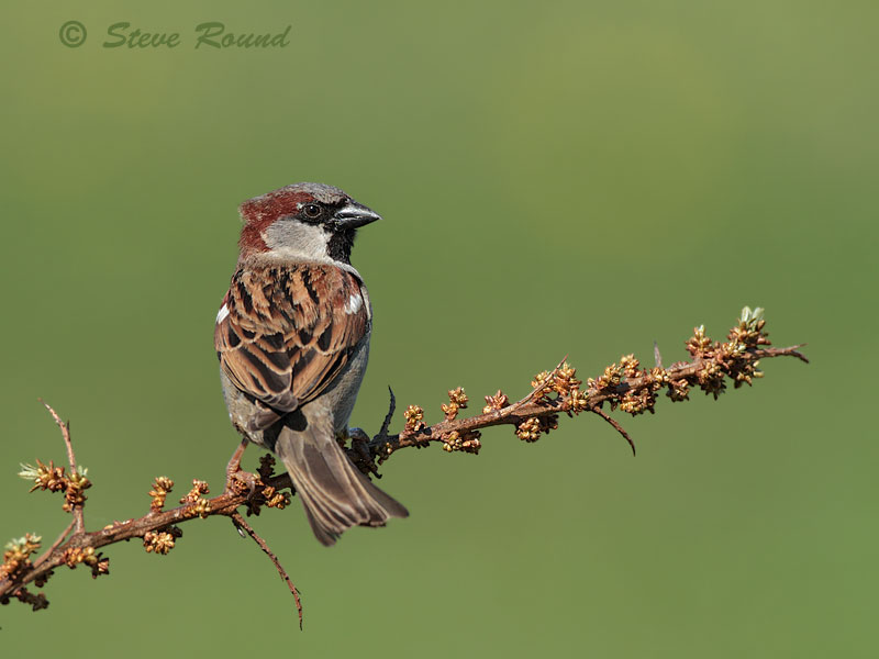 House Sparrow, bird, nature, wildlife