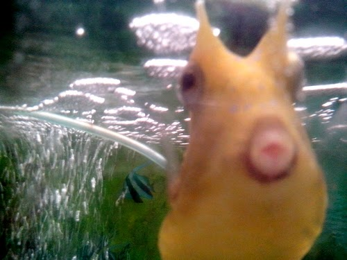 boxfish, seafdec, fishworld, pouting lips, funny fish, duckface, pout, alien fish, seafdec fishworld