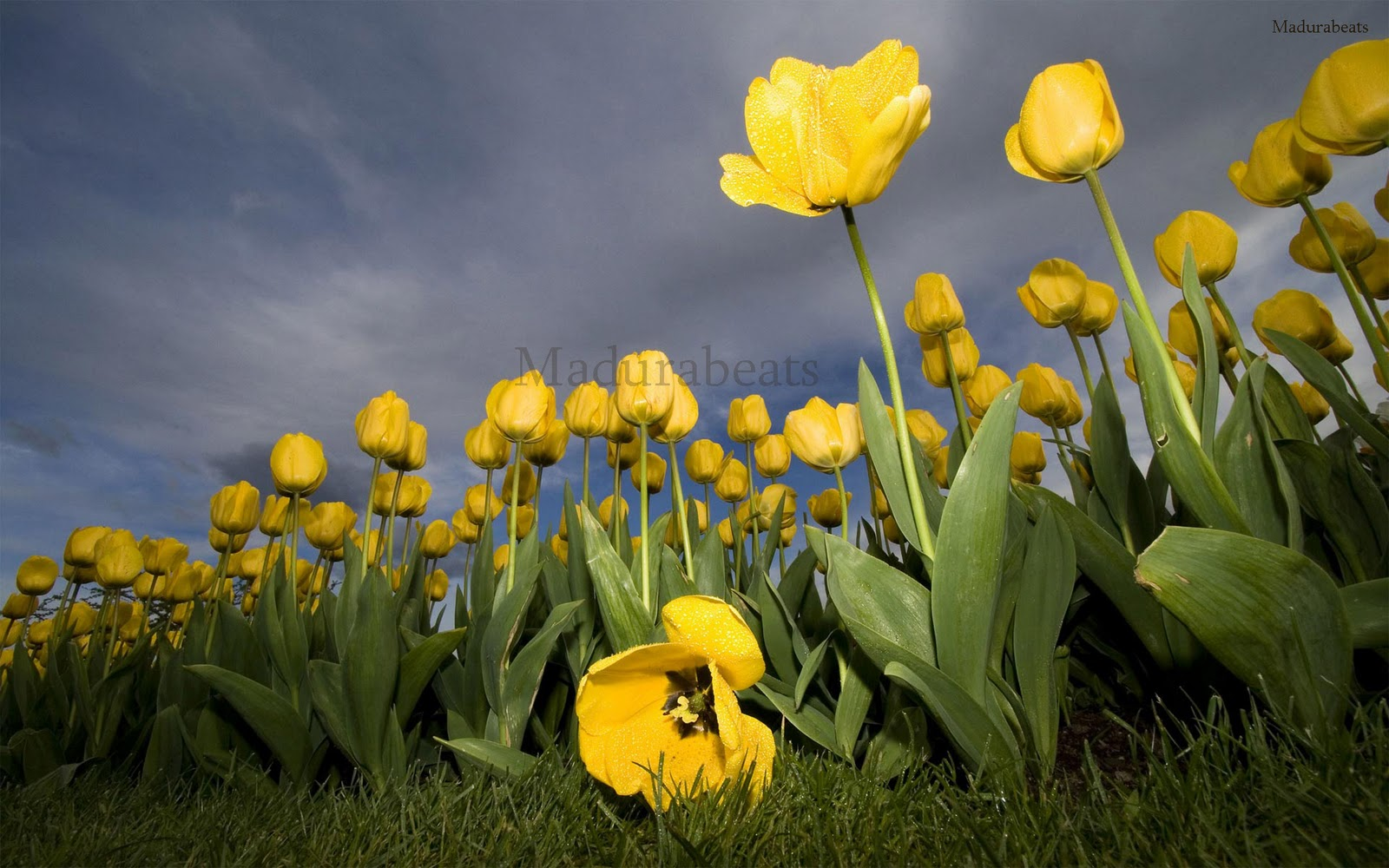 Yellow_tulips_with_Cloudy+Sky_wide screen_wallpaper,Flower images, Wide screen wallpapers,fresh flowers,Beautiful flowers