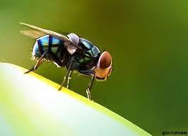 Cara Membasmi Lalat