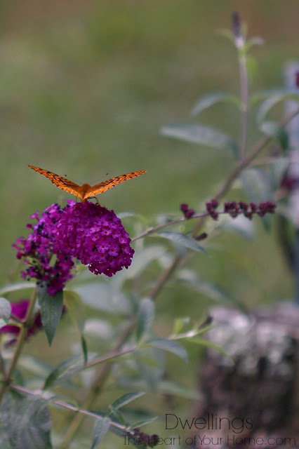 Butterfly on butterfly bush.