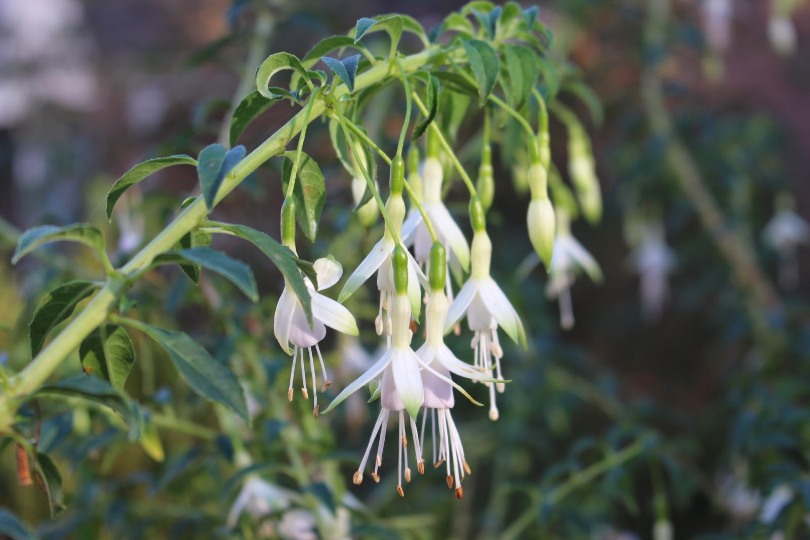 Photo of Fuchsia 'Hawkshead' blooming in mid November