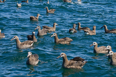 Oregon sea birds: Black-footed Albatross