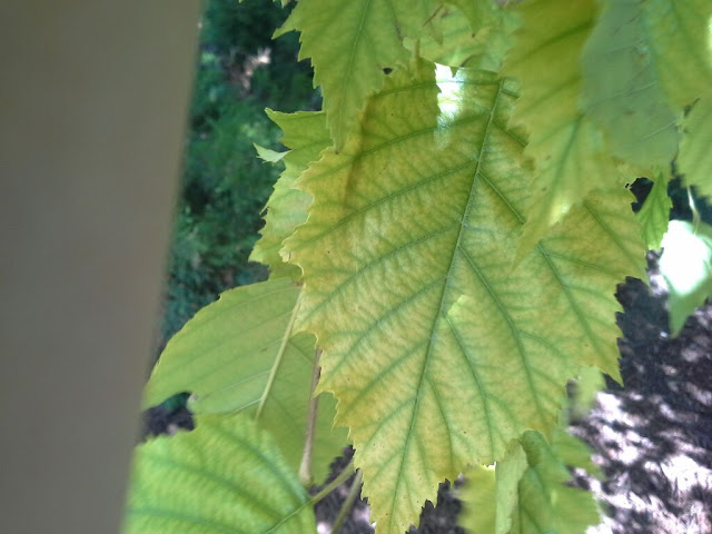 yellow river birch leaves iron chlorosis