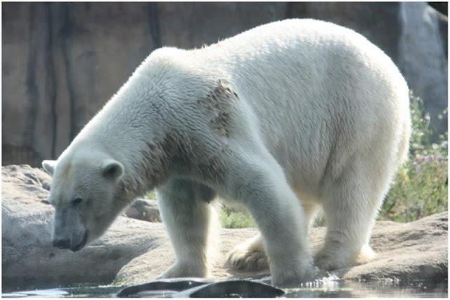 Oso polar en el Zoológico de Rotterdam o Diergaarde Blijdorp