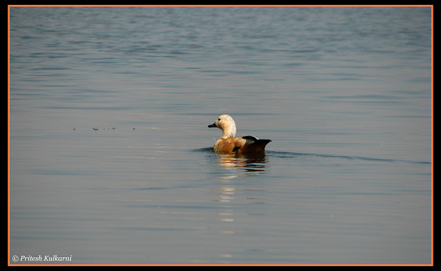 Ruddy Shelduck aka Brahmini Duck