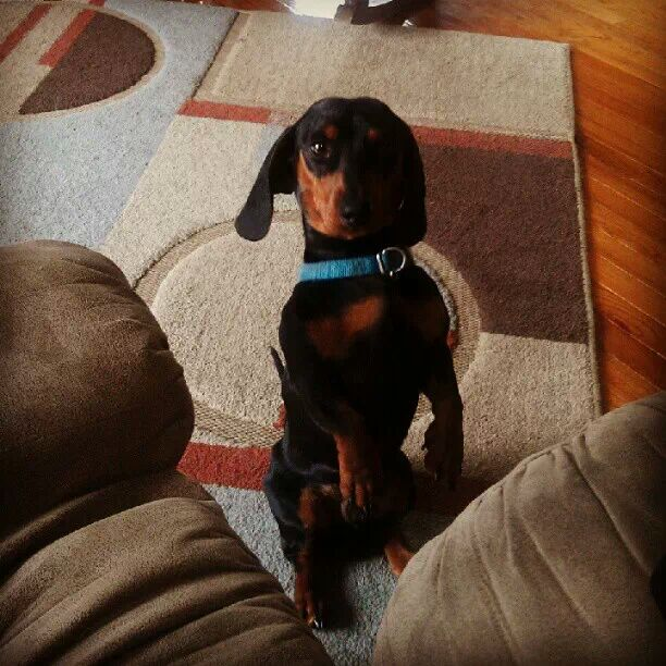 Tiny Dachshund saves two men from a bear attack (Video)