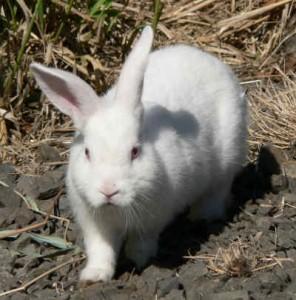 manfaat daging kelinci untuk kesehatan daging kelinci mengandung ...