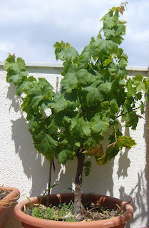Grape plant in a pot