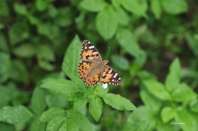 雞南山散步,小紅蛺蝶