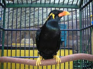Tips cara melatih bicara burung beo