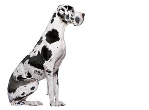 Dogo-Alemán