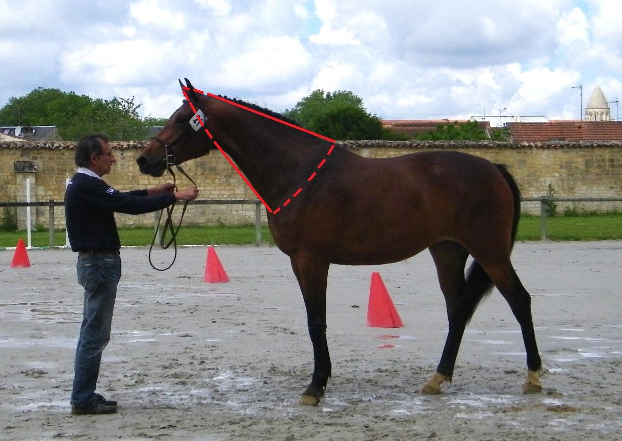 Exemple d'une belle encolure chez le cheval.