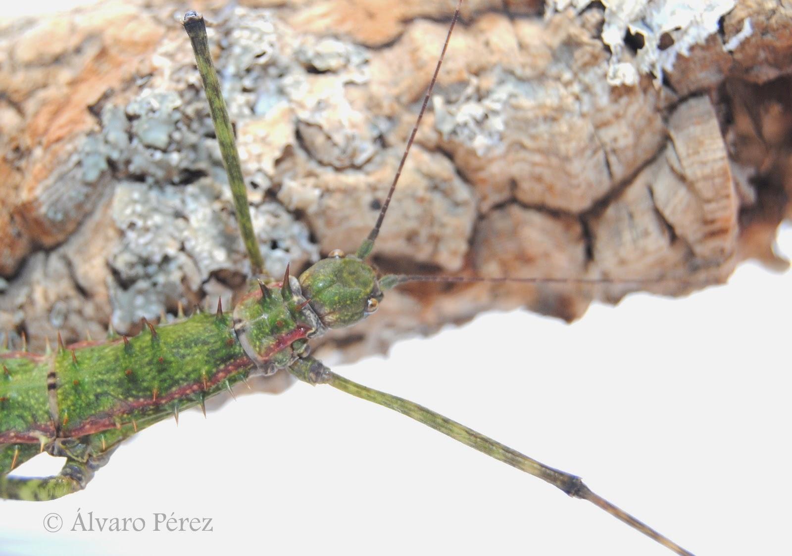 Spinohirasea bengalensis