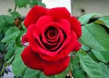 manfaat mawar untuk kecantikan