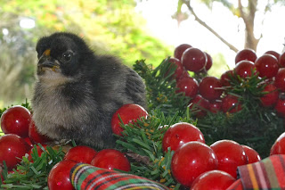 Baby chick with red berries