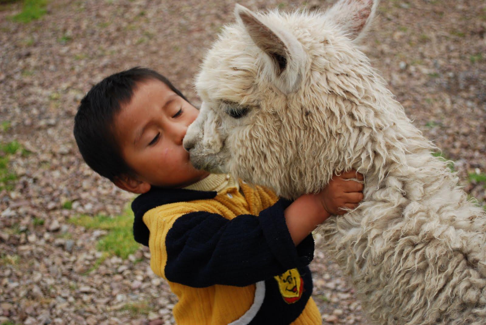 Llamas hugging