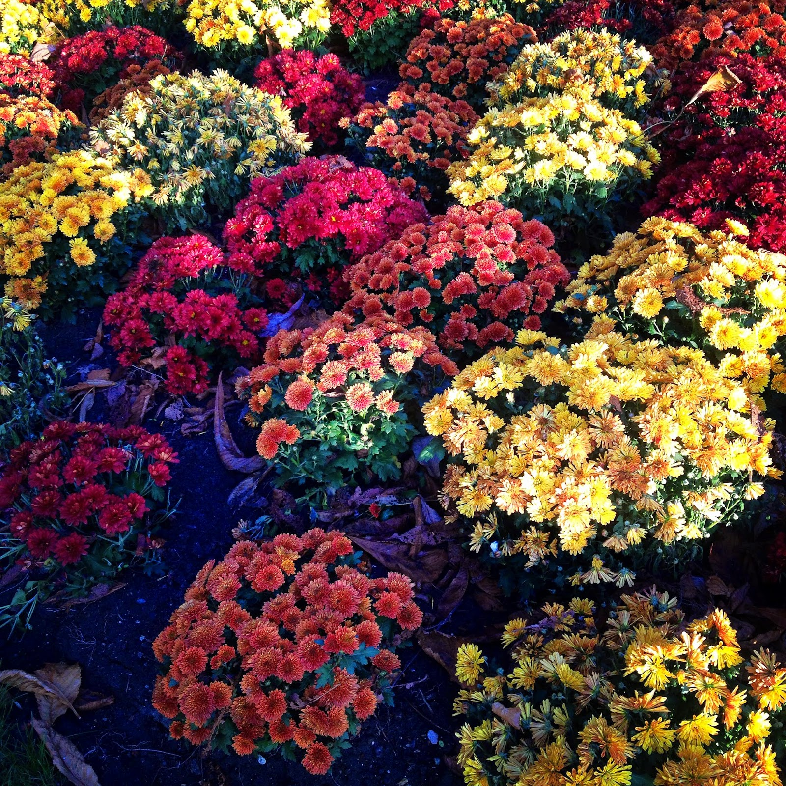Bright fall flowers at the Jardin du Luxembourg, Paris