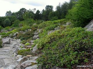 Rhododendron plantering