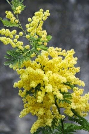 foto di belle mimose