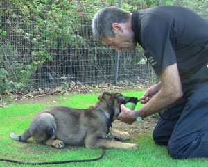 German shepherd holding on to a tennis ball and not letting it go, while Paul the trainer tries to rescue the ball
