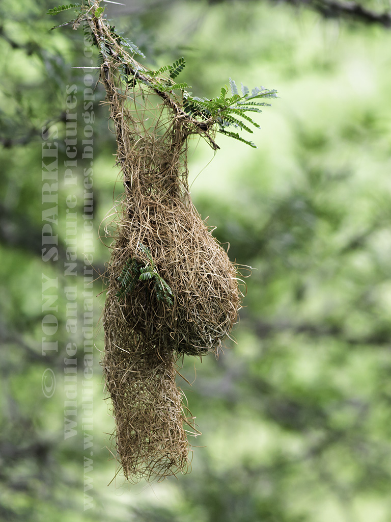 Picture of Spectacled Weavers Grass Nest