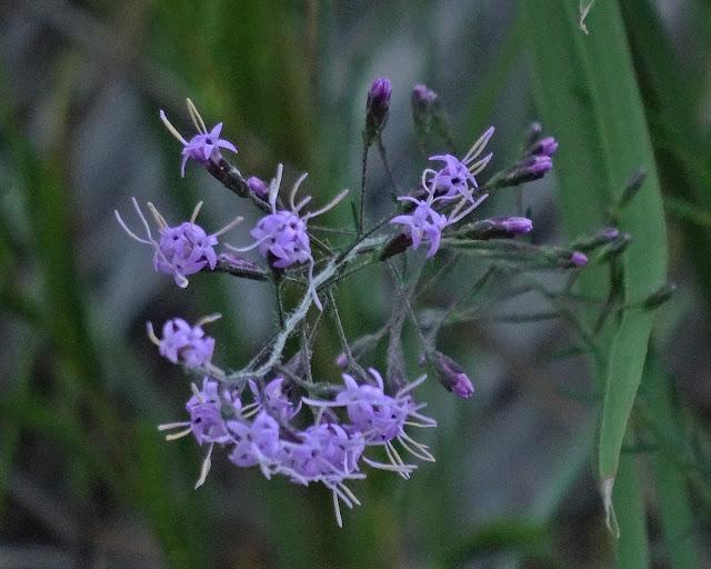 Florida Blazing Star (Liatris ohlingerae)