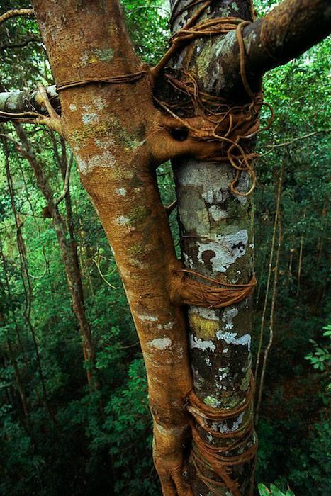 الشجرة الخانقة  strangler fig tree