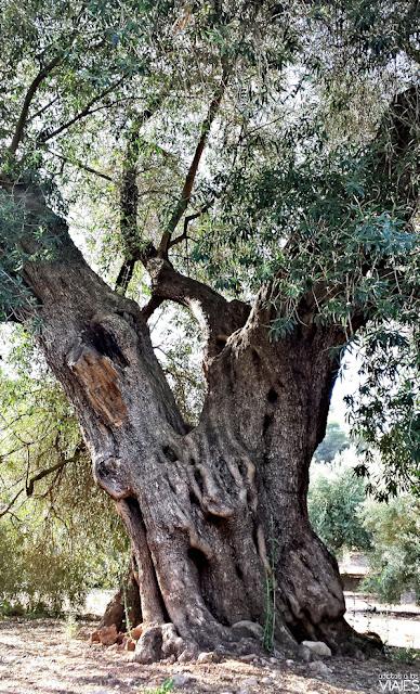 Olivo de Fuentebuena