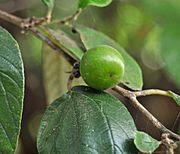 buah muda bidara